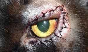 пластика век у кошек - Ветволга